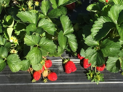 Strawberry bed rows